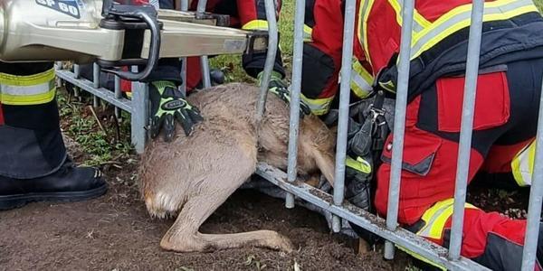 Feuerwehr Bad Segeberg befreit feststeckendes Reh aus Notlage