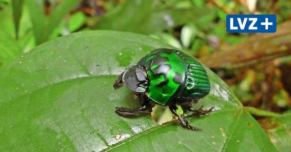 Zweite Wahl für Insekten: Künstliche Baum-Plantagen helfen kaum beim Artenschutz