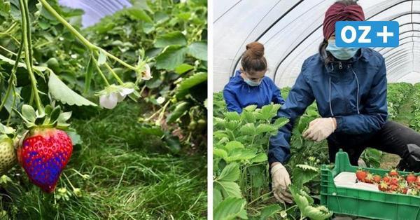 Erdbeerhof Glantz startet in MV Anbau mit neuem Konzept – Gras statt Stroh für die Umwelt