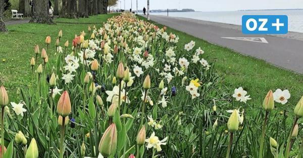 Blütenfreuden an der Sundpromenade