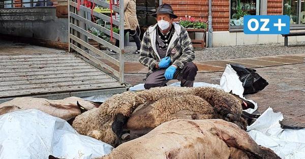 Schock in Stralsund: Von Wolf gerissene Schafe liegen in Fußgängerzone
