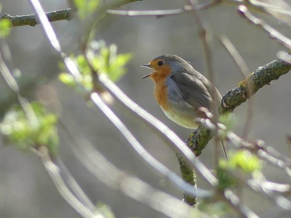 Tralalalala! Das Rotkehlchen singt in den schönsten Tönen.(Foto: Heidi Bornschein)