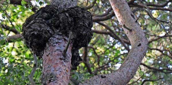 Ein dendrologisches Liebespaar mitten in der Dahlener Heide: Hier umarmen sich eine Eiche und eine Kiefer, die sich beim Wachstum nahe gekommen sind. Foto: Dirk Hunger