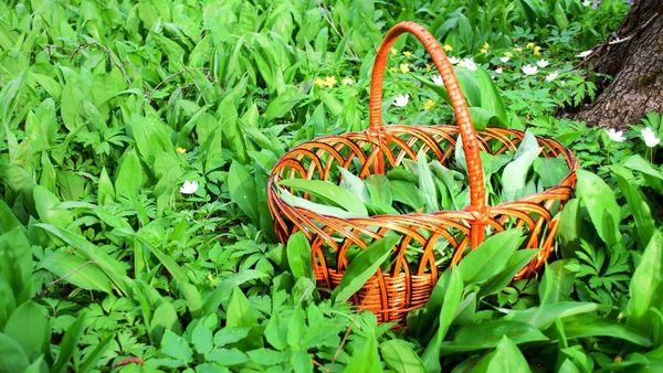 Bärlauch im Frühjahr sammeln: drei Rezeptideen mit dem Wildkraut