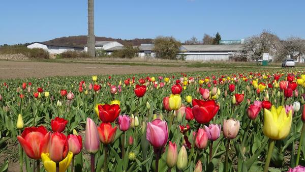 Farbenprächtiger Blütenteppich (Foto: Helmut Kuzina)