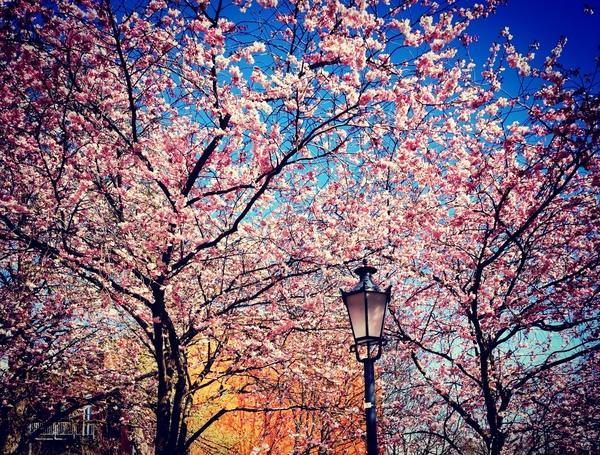 Bäume in Wismar stehen in voller Blüte. Foto: Maika Kulke