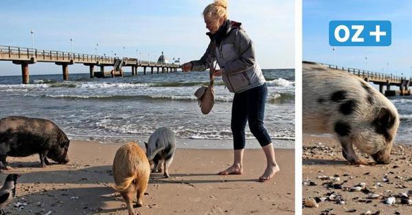 Frühstück mit Meerblick: Zinnowitzer Minischweine genießen am Strand