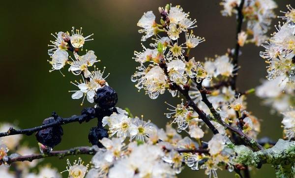 Das Schneegestöber am Freitavormittag verzauberte den Frühling kurzzeitig in eine Winterlandschaft - wie hier die Zweige in der Waldstadt II. (Foto: Bernd Gartenschläger)