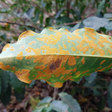 Coffee Leaf Rust Fears Rise As New Aggressive Fungus Variants Discovered