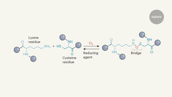 Previously unknown type of protein crosslink discovered