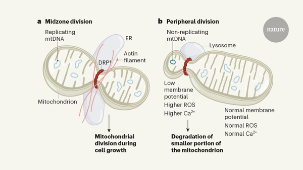 Revolutionary view of two ways to split a mitochondrion