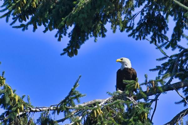 America's Bald Eagle Population Has Quadrupled