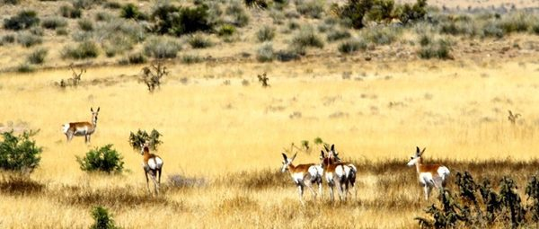 Using Cows to Improve Wildlife Habitat and Increase Pronghorn