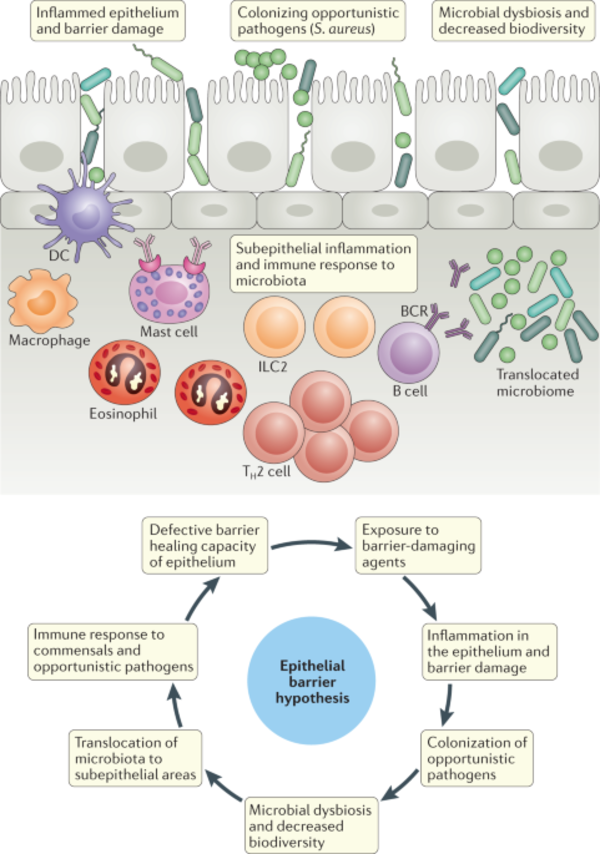 Does the epithelial barrier hypothesis explain the increase in allergy, autoimmunity and other chronic conditions? | Nature Reviews Immunology