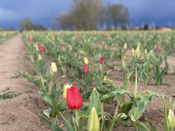 Zur Tulpenselbsternte lädt dieses Feld in Ribbeck ein. (Foto: Nadine Bieneck)