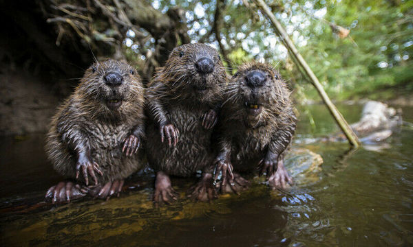 """I'm surprised that Googling """"happy beaver"""" yielded such family-friendly results."""