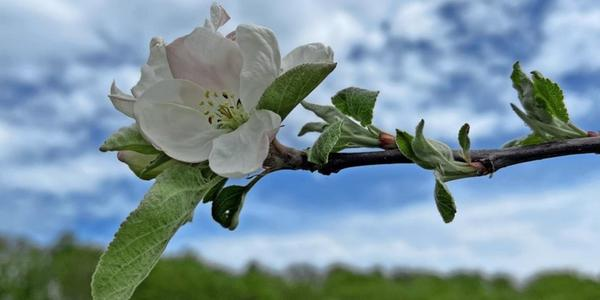 Gut Herbigshagen: 200 Obstbäume stehen bei Duderstadt in voller Blüte