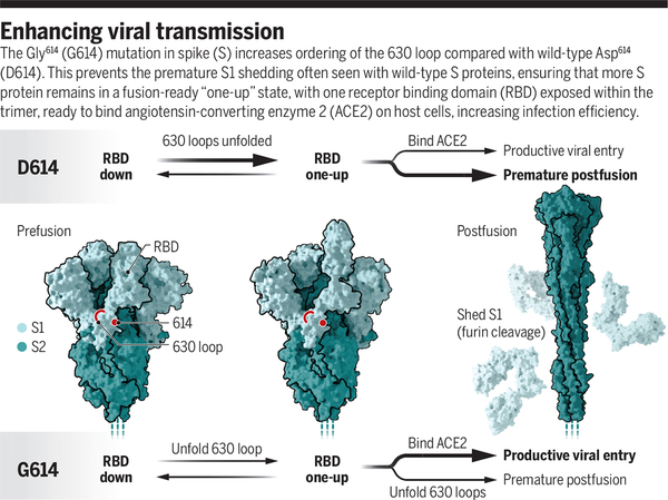 How SARS-CoV-2 first adapted in humans | Science
