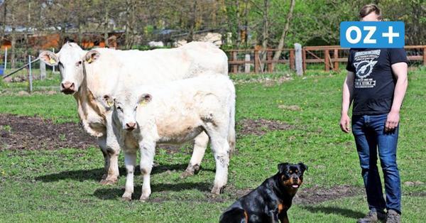 Kuhles Hobby: Dieser Mann hält seine Rinder mitten in Rostock