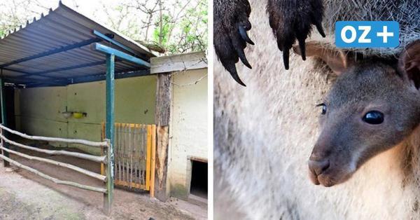 """Fuchs frisst Känguru-Babys im Zoo Stralsund: """"Wir sind echt betroffen"""""""