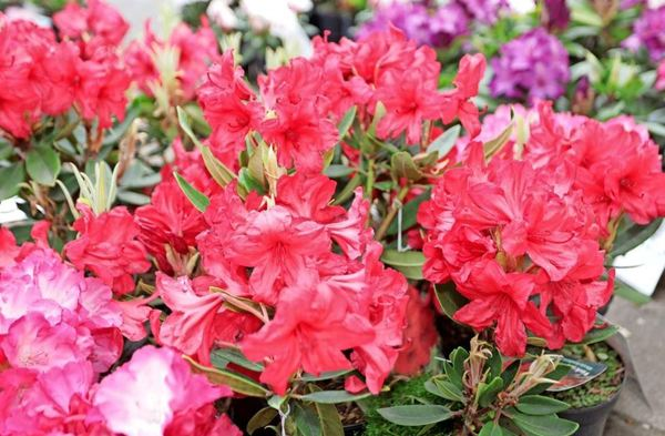 Blühende Rhododendren und Azaleen können am Wochenende im Hof des Schlosses Markkleeberg-Ost bestaunt werden. FotoAndré Kempner