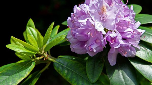 Rhododendron schneiden: Was beim Pflanzen und Pflegen beachtet werden sollte