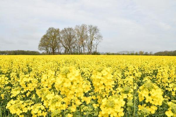 Duftende Felder (Foto: Anne Schönemann)