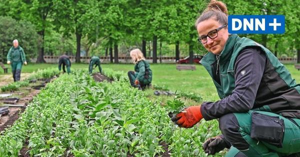 Sommerbepflanzung in Dresden beginnt