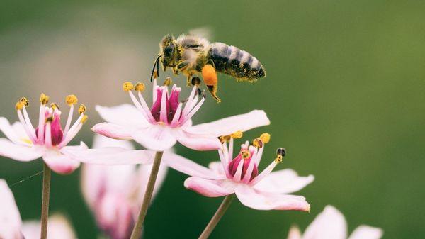 Garten für Bienen gestalten: Welche Pflanzen helfen gegen das Bienensterben?