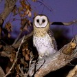Mouse plague: bromadialone will obliterate mice, but it'll poison eagles, snakes and owls, too