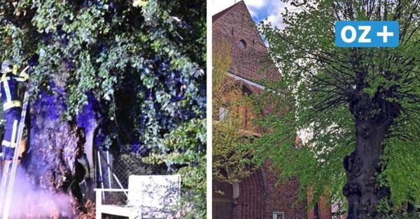 Warum es ein Wunder ist, dass dieser Baum in Grevesmühlen noch grünt