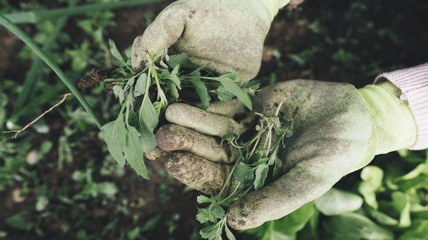 Unkraut entfernen: Natron, Essig, Salz – was hilft am besten und ist umweltschonend?