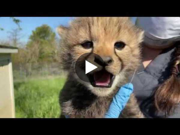 Cheetah cub weigh-in at Smithsonian Conservation Biology Institute