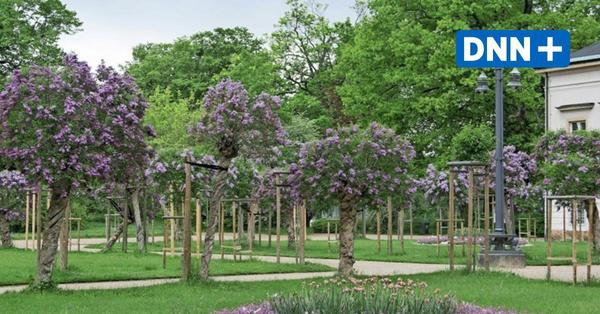 Gartendenkmal in Pillnitz in lila Blütenpracht