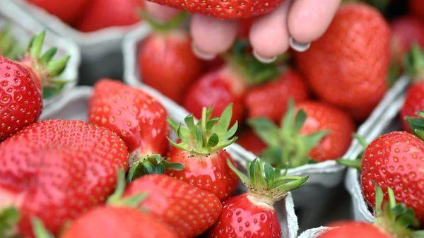 Viel Regen: Die Zeit der Erdbeeren ist gekommen