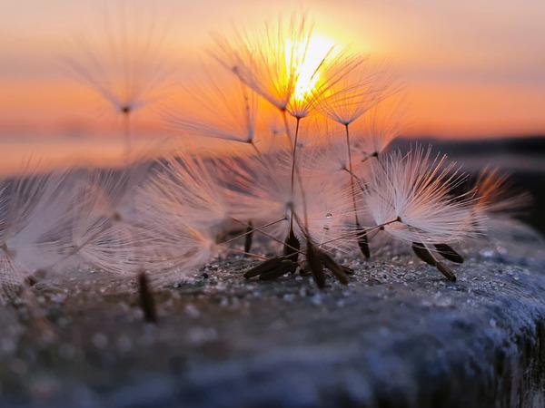 Die Schirmfliegersamen im Licht der aufgehenden Sonne (Foto: Cornelia Behring)