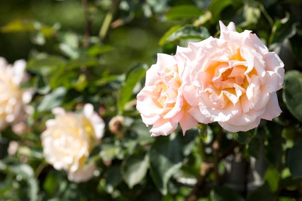 Rosen zeigen sich im Juni von ihrer schönsten Seite - in voller Blütenpracht. Foto: dpa