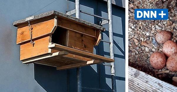 Dresden: Turmfalken brüten auf einem Johannstädter Hochhausdach