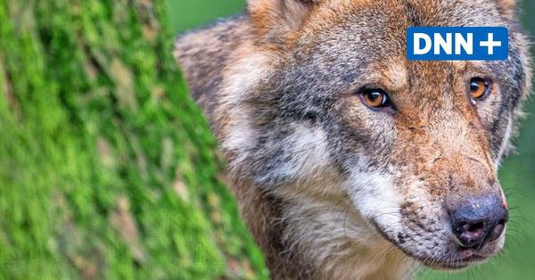 Bautzener Landrat will Wolf an den Kragen
