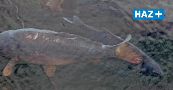 Maschsee: Darum treiben derzeit auffällig viele tote Fische im Wasser