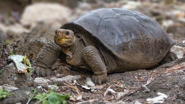 Forscher entdecken vermeintlich ausgestorbene Riesenschildkröte auf Galápagos: Ist die Art noch zu retten?