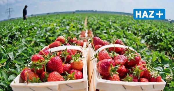Hier können Sie in der Region Hannover selbst Erdbeeren pflücken