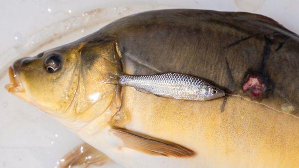 """""""Großes Problem für das Ökosystem"""" – Asiatischer Fisch bedroht heimische Arten"""