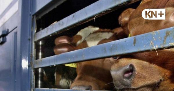 Rendsburg: Neue Technik soll Tiere auf langen Transporten schützen