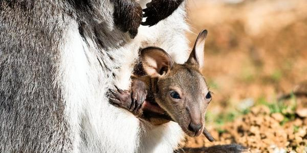 Babyalarm im Tierpark Sababurg: Minikänguru, Frischlinge, Fohlen und Co. erblicken Licht der Welt