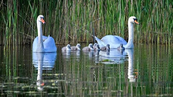 Siebenfacher Nachwuchs bei einer Schwanenfamilie in Stralsund (Foto: Axel Plate)