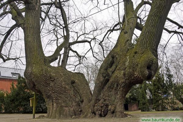 Tatsächlich nur ein Baum: die Schwedenlinde von Brielow. Foto: musicussi