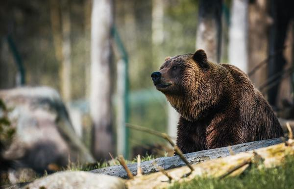 New Montana Laws Change Response to Grizzly Bear Management   Pitchstone Waters