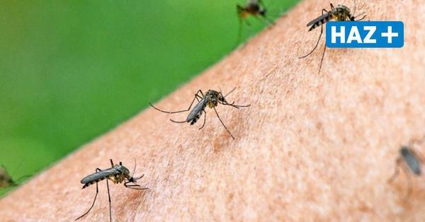 Erst feucht, dann heiß: Kommt jetzt die Mücken-Plage in Hannover?