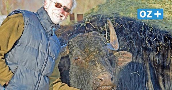 Wasserbüffel aus Dassow sind zurück auf dem Priwall